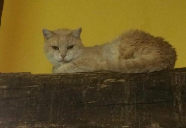 Adopter HUGO, chat europeen male de 17 ans