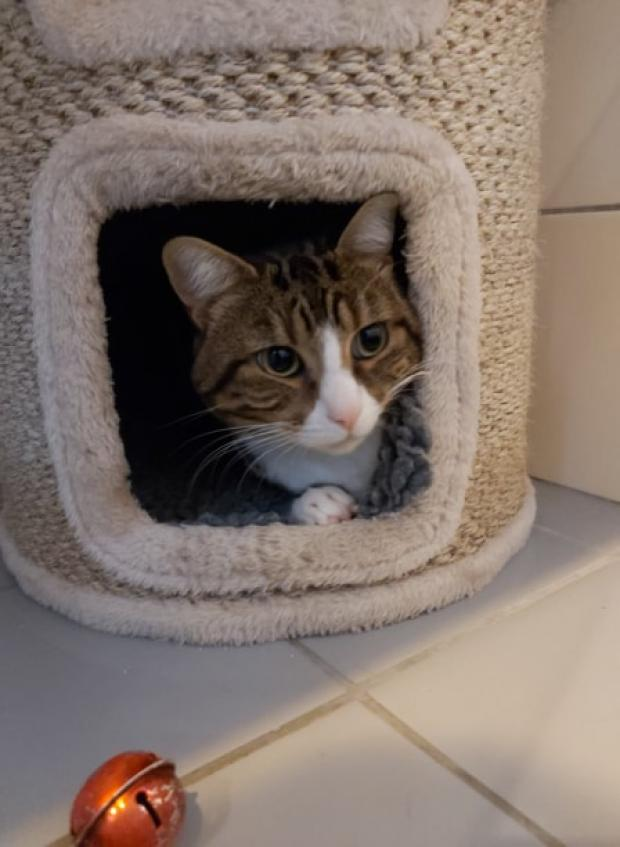 Adopter rio, chat male de 2 ans