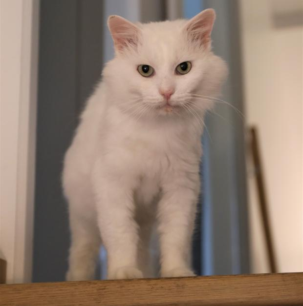 Adopter SNOWBEL, chat male de 5 ans