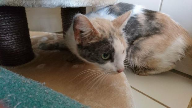 Adopter SOPHIE, chat femelle de 3 ans
