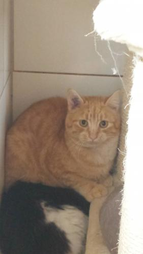 Adopter SPLINTER, chat male de 6 ans