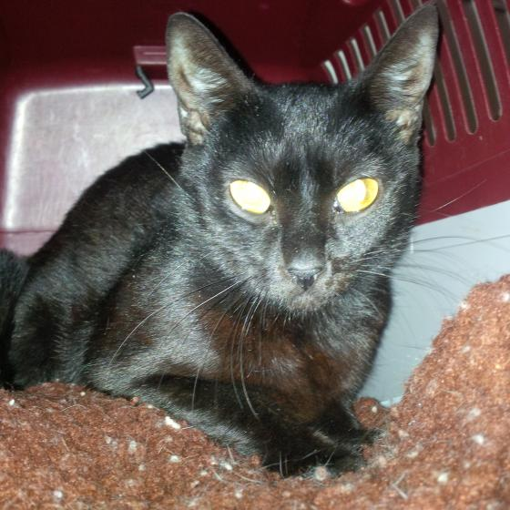 Adopter SQUEEGE, chat femelle de 3 ans