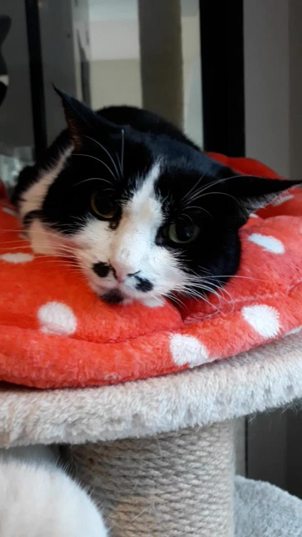 Adopter P'ti Loup, chat europeen male de 12 ans