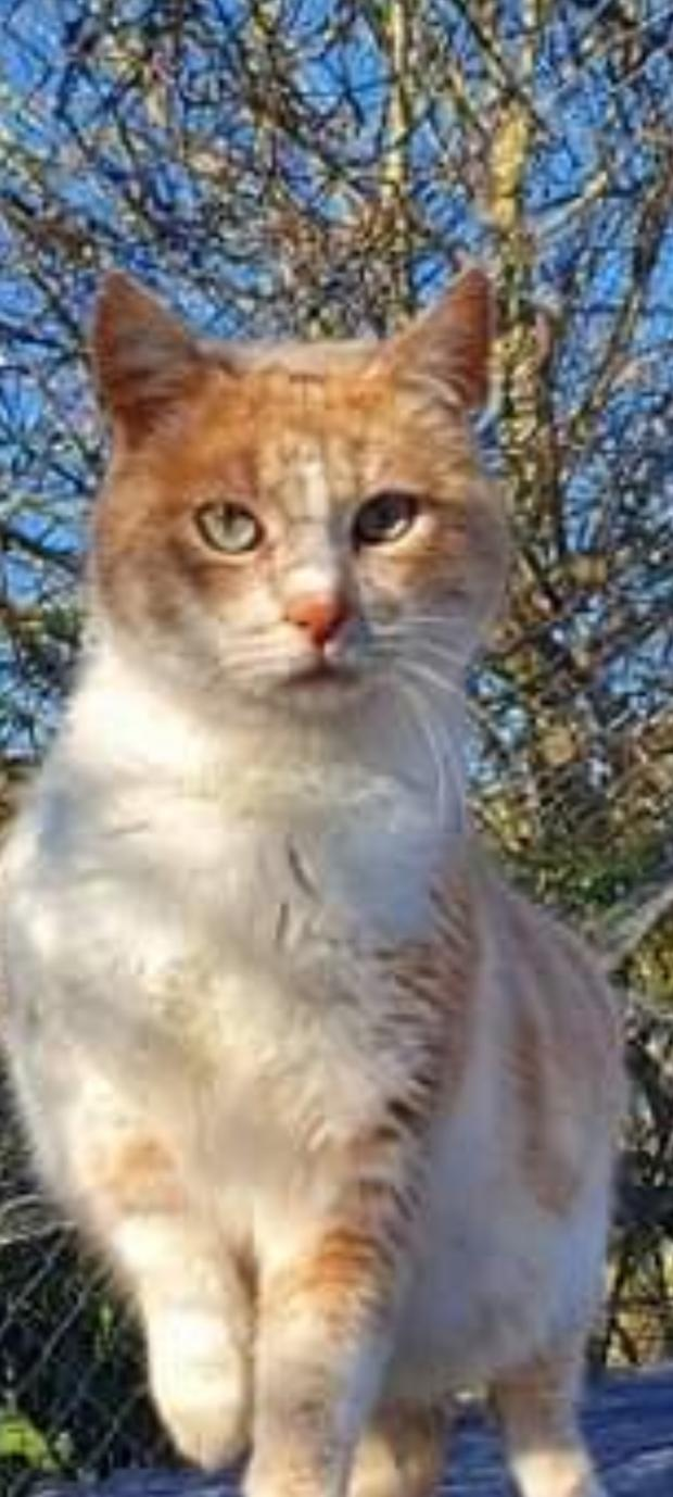 Adopter Thales, chat europeen male de 7 ans