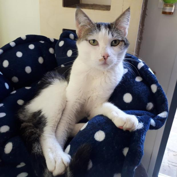 Adopter TITI, chat europeen male de 2 ans