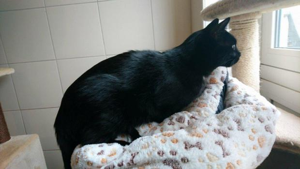 Adopter ULYSSE, chat europeen male de 2 ans