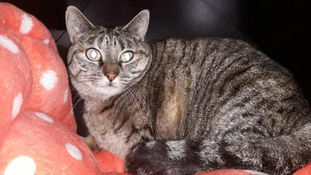 Adopter URSULE, chat europeen male de 5 ans