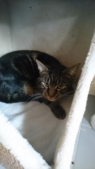 Adopter VALENTIN, chat male de 3 ans