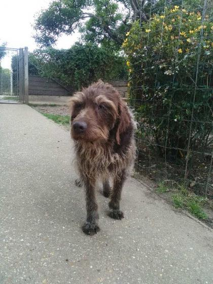 Adopter BROWNIE, chien griffon male de 12 ans