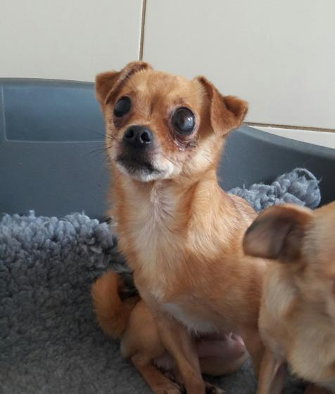 Adopter SARKO, chien chihuahua male de 5 ans