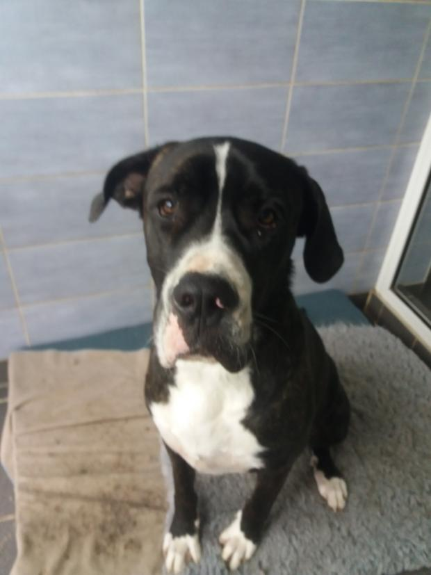 Adopter AROBASE alias TYSON, chien dogue_argentin male de 2 ans