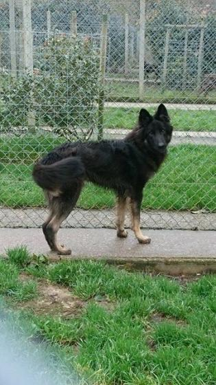 Adopter NINO, chien berger_allemand male de 1 an