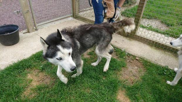 Adopter FOYCE, chien husky male de 11 ans