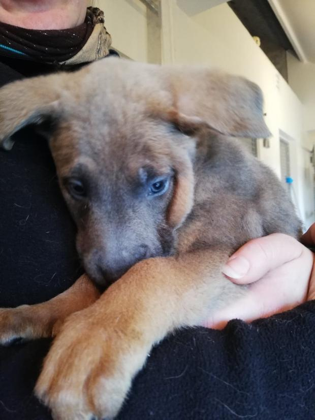 Adopter crokmou, chien berger male de 2 mois