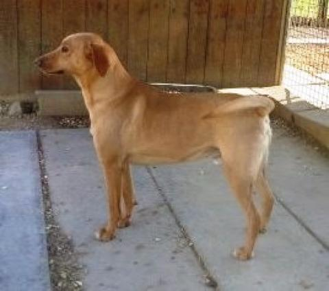 Adopter ATHOS, chien retriever male de 7 ans