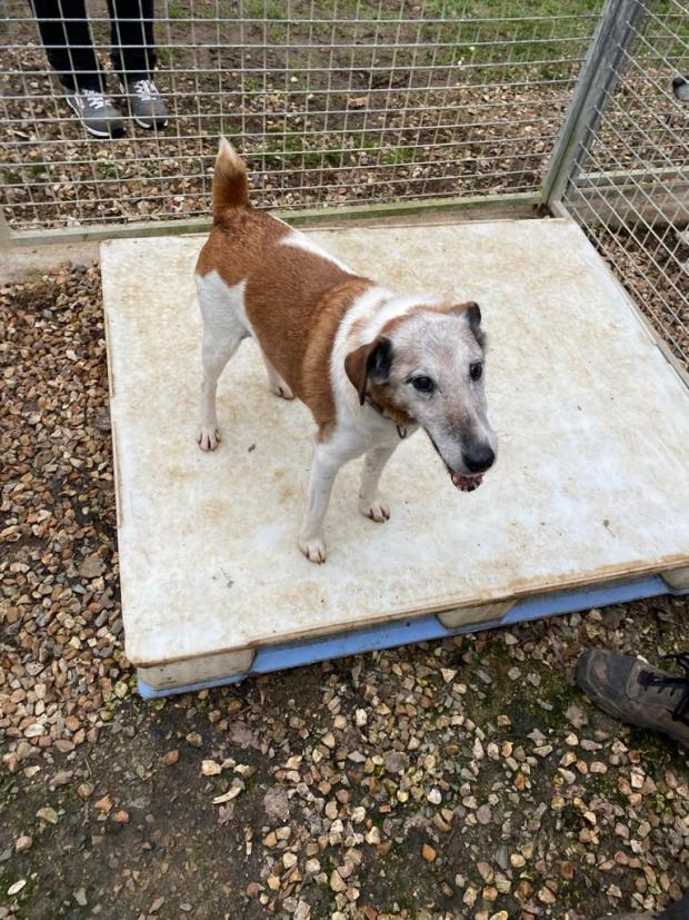 Adopter BARTH, chien jack_russel male de 15 ans
