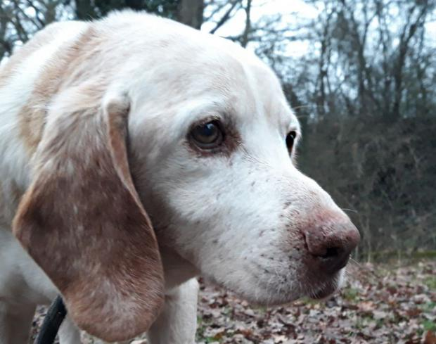 Adopter BUGGY, chien beagle male de 15 ans
