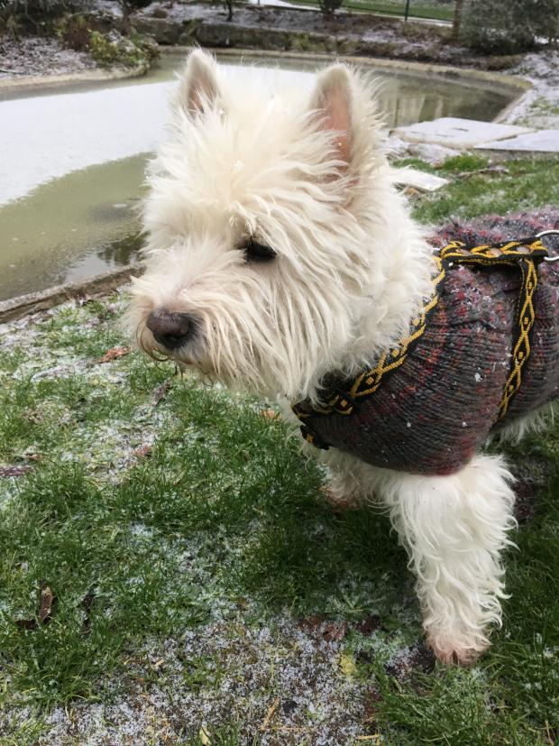 Adopter BARNABE dit BABE, chien west_highland_white_terrier male de 13 ans