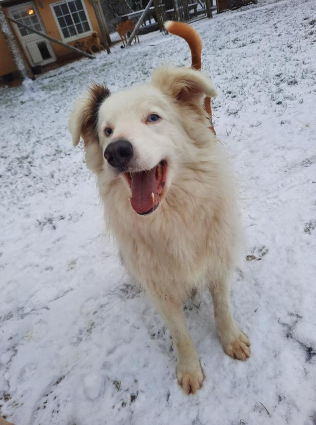 Adopter CHARLIE, chien husky male de 9 ans