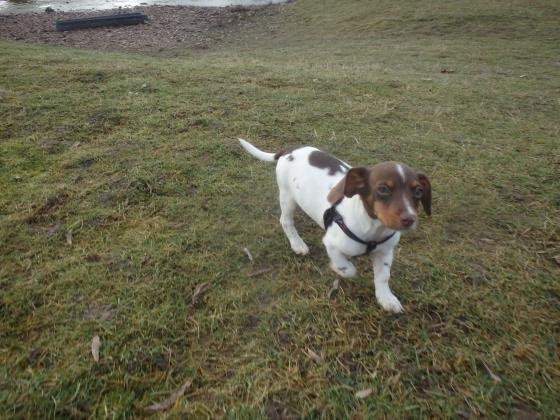 Adopter CHIPS, chien jack_russel male de 1 an