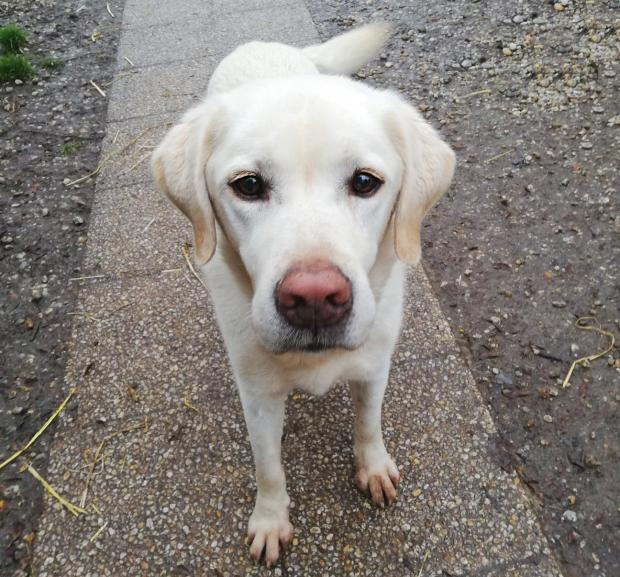 Adopter CHARLY, chien labrador male de 12 ans