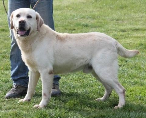 Adopter CHARLY, chien labrador male de 11 ans