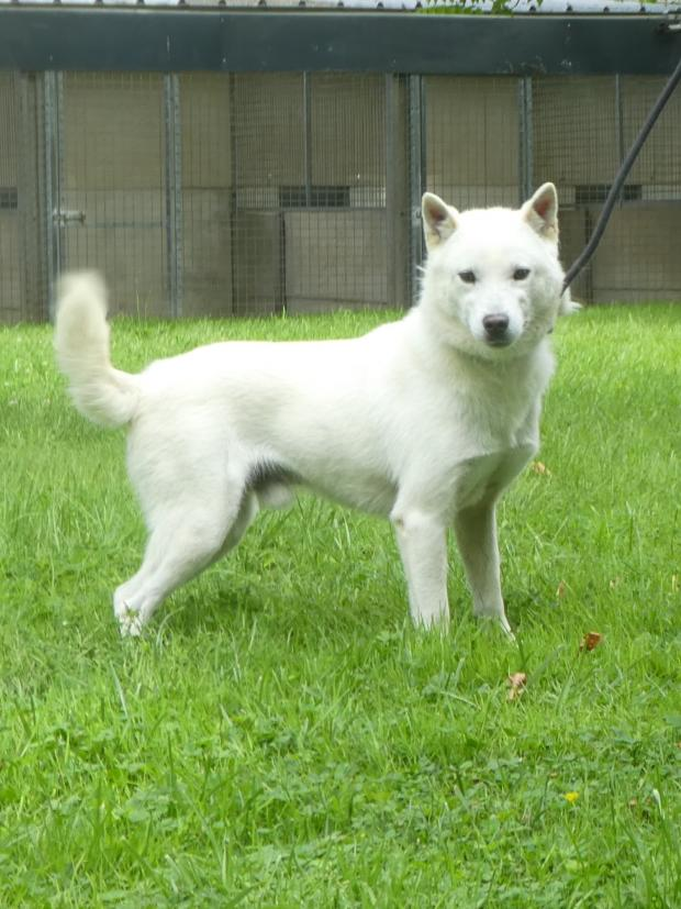 Adopter POWER, chien akita_inu male de 2 ans