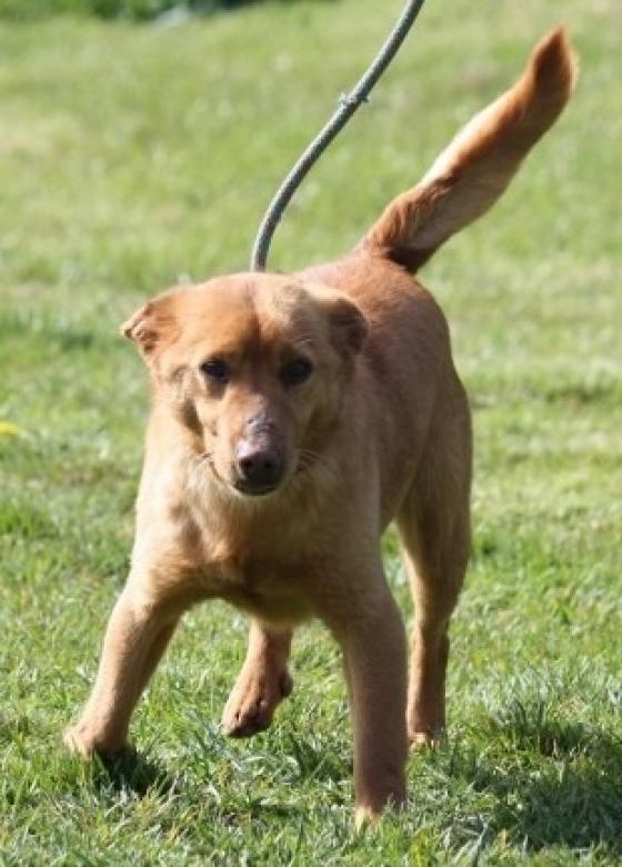 Adopter COQUIN, chien berger male de 10 ans