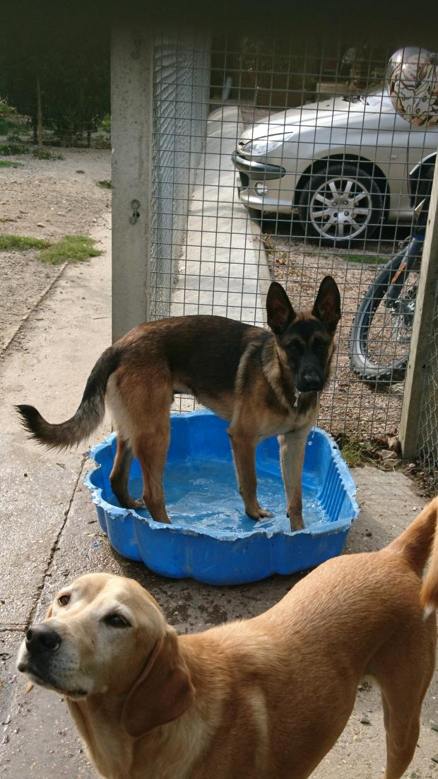 Adopter MADOX, chien berger_malinois male de 1 an