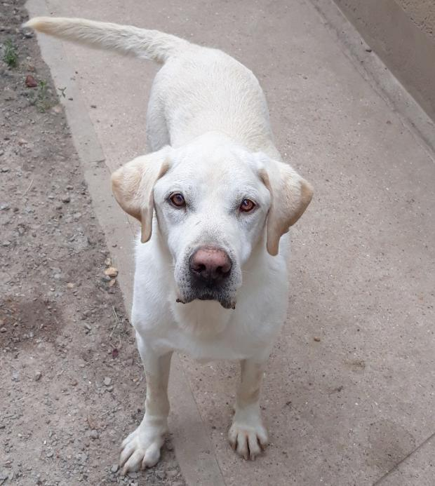 Adopter DARYL, chien retriever male de 11 ans