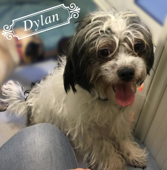 Adopter DYLAN, chien shih_tzu male de 2 ans