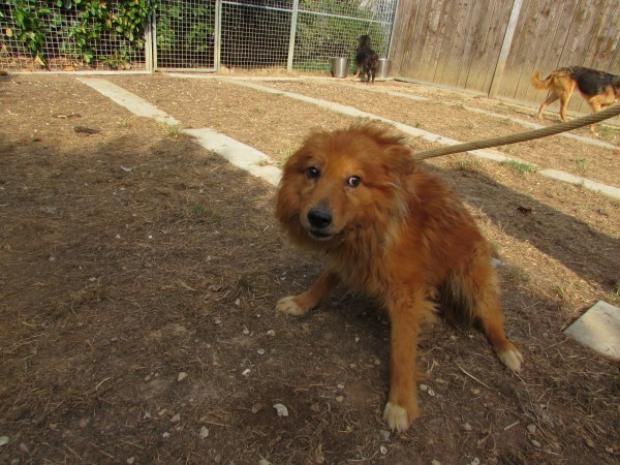 Adopter tango, chien chow-chow male de 10 ans