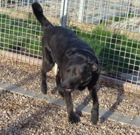 Adopter FAUSTI, chien retriever male de 9 ans