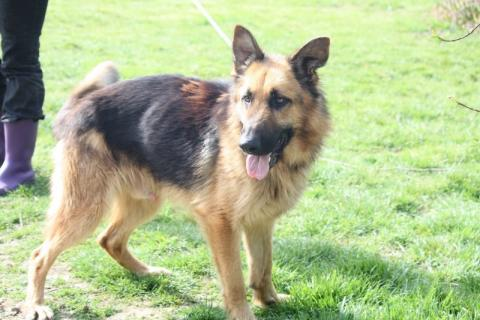 Adopter GLASGOW, chien berger_allemand male de 6 ans