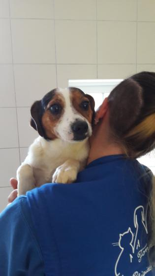 Adopter GOLD, chien jack_russel male de 10 ans
