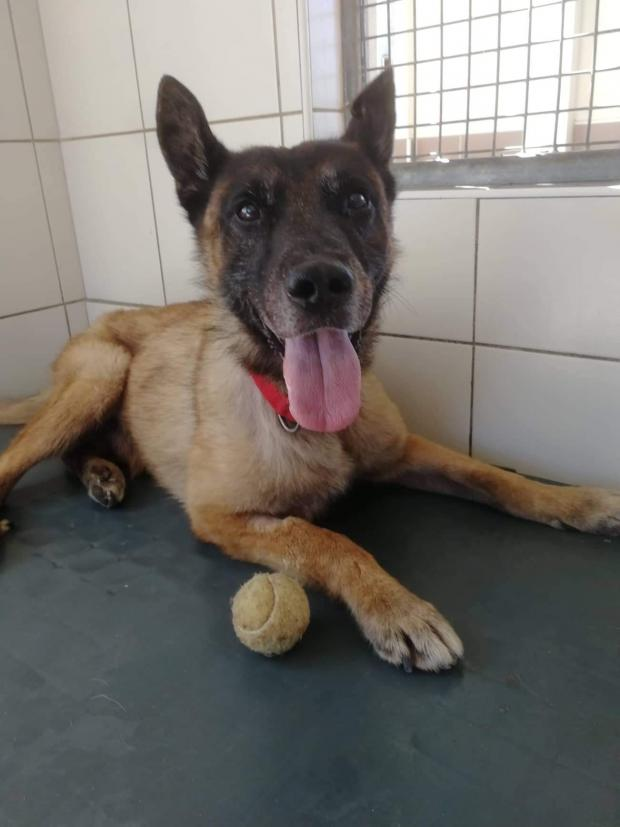 Adopter GOLIATH, chien berger_malinois male de 10 ans