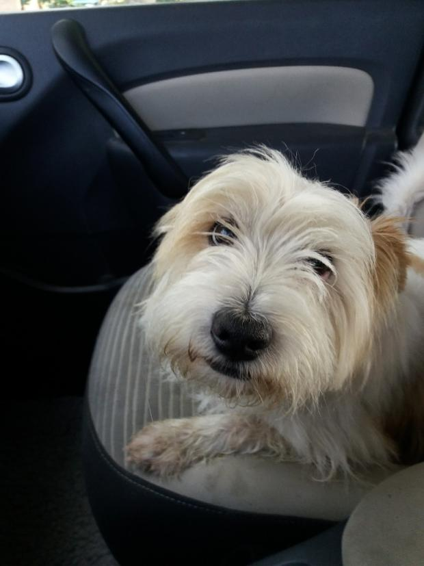 Adopter GUIZMO, chien west_highland_white_terrier male de 7 ans