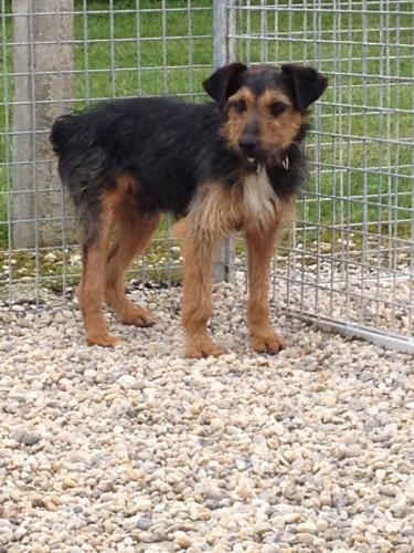 Adopter HOBO, chien terrier male de 6 ans