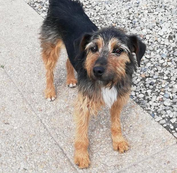 Adopter HOBO, chien terrier male de 7 ans