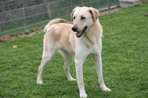 Adopter HUTCH, chien retriever male de 17 ans
