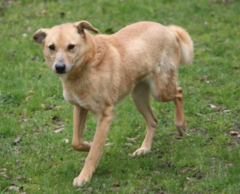 Adopter PEICY, chien retriever male de 13 ans