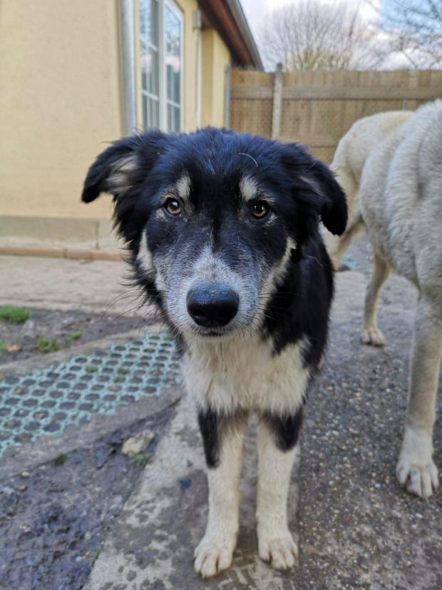 Adopter LOOPING, chien berger male de 1 an