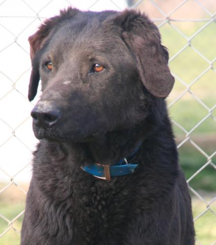 Adopter PUMBA, chien retriever male de 7 ans
