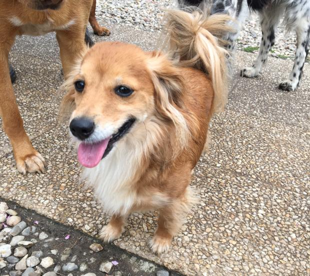 Adopter SNOOPY, chien epagneul_papillon male de 5 ans