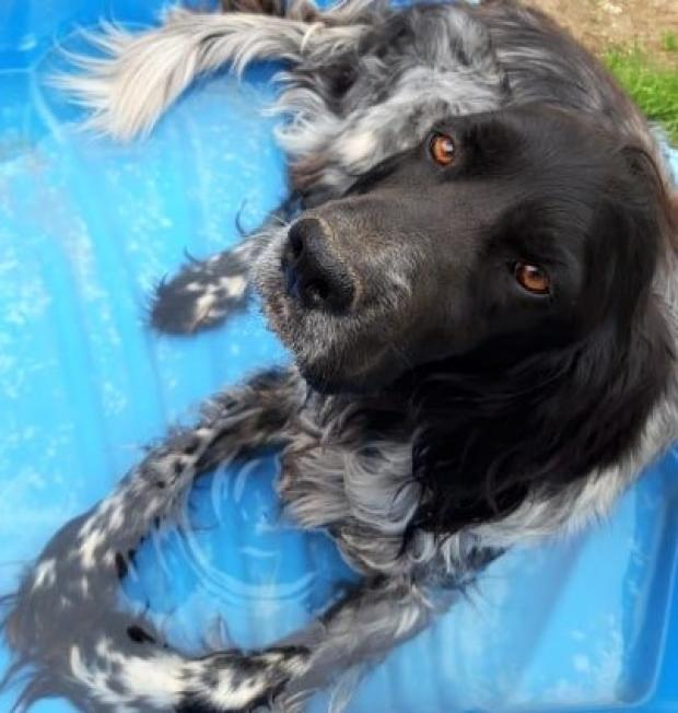 Adopter ICARE, chien setter male de 6 ans