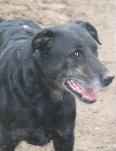 Adopter BOSTON, chien retriever male de 12 ans