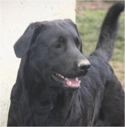 Adopter RAVEN, chien retriever male de 13 ans