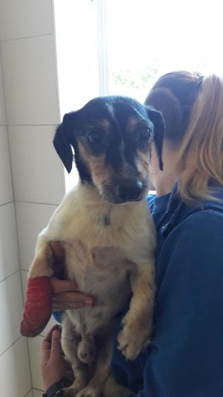 Adopter JAMES, chien jack_russel male de 15 ans