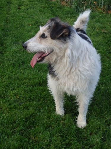 Adopter JACOMO, chien terrier male de 5 ans