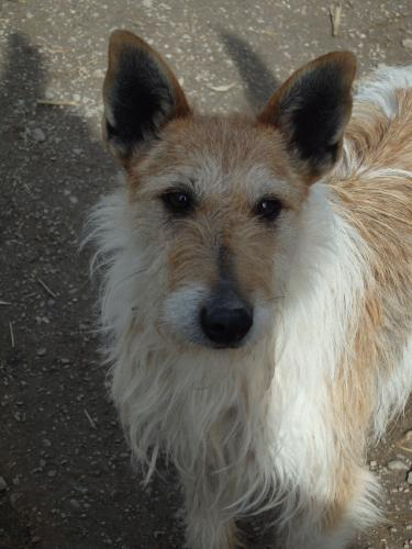 Adopter JAÏPUR, chien terrier male de 7 ans
